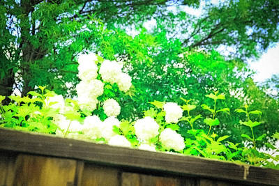 Photograph - Snow Balls by Nancy Marie Ricketts
