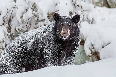 Black Bear Photograph - Snow Bear Stare by Ed Boudreau