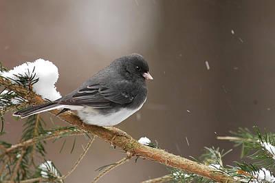 Brids Photograph - Snow Bird by Alan Lenk