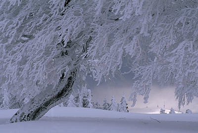 Framed Winter Snow Photograph - Snow-blanketed Trees In A Fairy Tale by Norbert Rosing