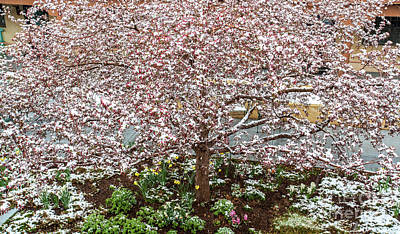 Photograph - Snow Blossoms by Roselynne Broussard