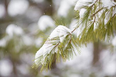 Photograph - Snow Bough by Sara Hudock