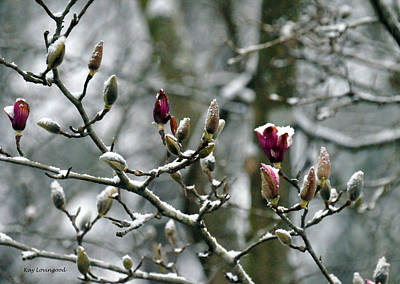 Photograph - Snow Buds by Kay Lovingood