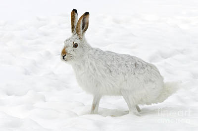 Photograph - Snow Bunny by Dee Cresswell