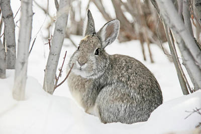 Photograph - Snow Cottontail Bunny by Jennie Marie Schell