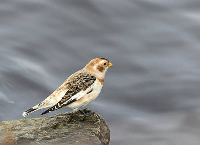 Photograph - Snow Bunting 2017-2 by Thomas Young