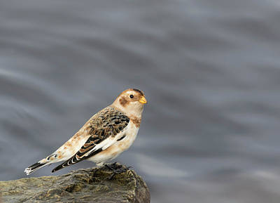 Photograph - Snow Bunting 2017-4 by Thomas Young