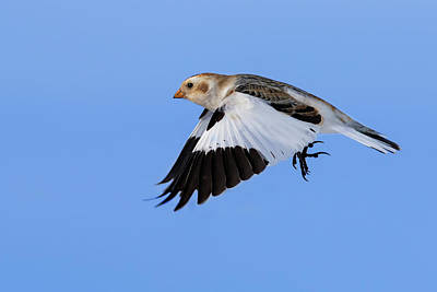 Photograph - Snow Bunting In Flight by Mircea Costina Photography