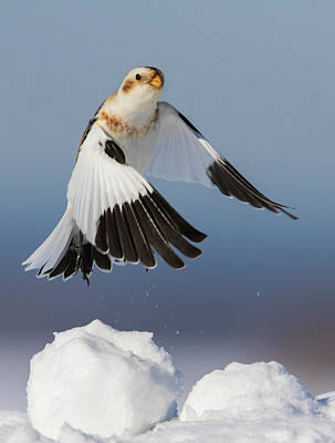 Photograph - Snow Bunting In Winter by Mircea Costina Photography