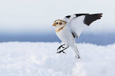 Photograph - Snow Bunting Landing by Mircea Costina Photography