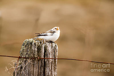Photograph - Snow Bunting by Lori Dobbs