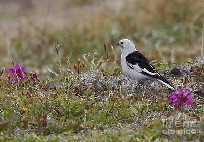 Photograph - Snow Bunting On The Tundra by Myrna Bradshaw