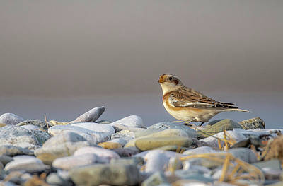 Photograph - Snow Bunting - Plectrophenax Nivalis by Darren Wilkes