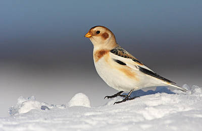 Birding Photograph - Snow Bunting (plectrophenax Nivalis) by Mircea Costina