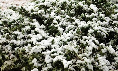 Photograph - Snow Bush by Cynthia Guinn