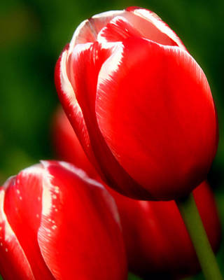 Huisken Photograph - Snow Capped Tulips by Lyle  Huisken