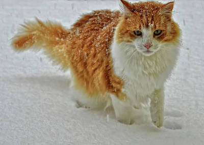 Photograph - Snow Cat by JAMART Photography