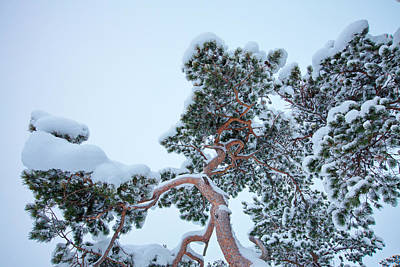 Photograph - Snow Clad Pine Tree Seen From Below by Ulrich Kunst And Bettina Scheidulin