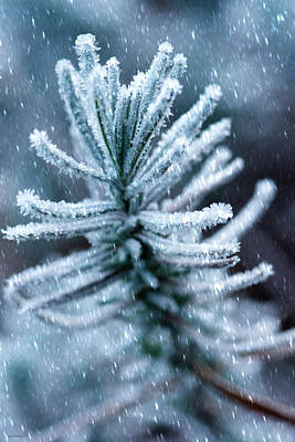 Photograph - Snow Cover Pine by Crystal Wightman