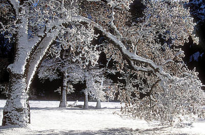 Photograph - Snow Covered Black Oak Yosemite National Park by Dave Welling