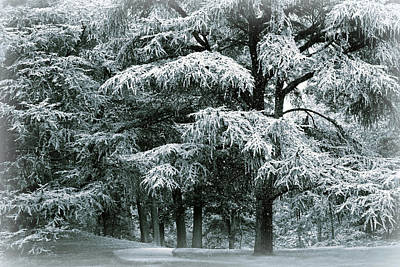 Photograph - Snow Covered Conifer by Jessica Jenney
