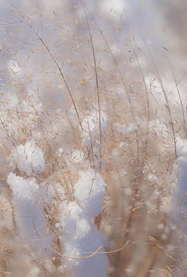 Photograph - Snow Covered Dried Winter Shrubs by Barbara Rogers