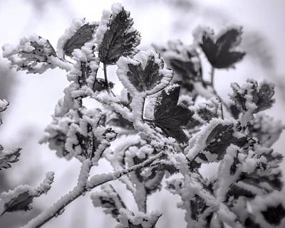 Farm Life Paintings Rob Moline - Snow Covered Leaves Black And White by Dan Sproul