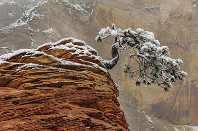 Photograph - Snow Covered Pine In Zion Natl Park by Jeff Foott