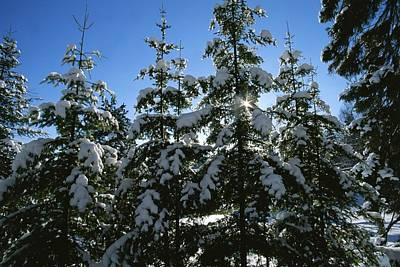 Pine Needles Photograph - Snow-covered Pine Trees by Taylor S. Kennedy