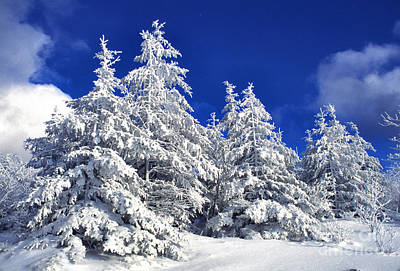 Snow-covered Pine Trees Art Print by Thomas R Fletcher