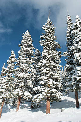 Photograph - Snow Covered Pines by Juli Scalzi