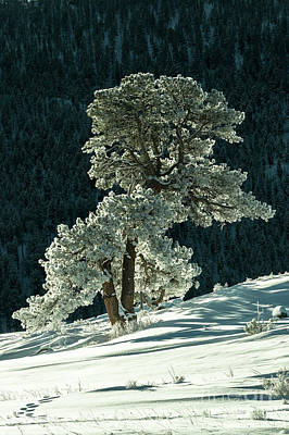 Photograph - Snow Covered Tree - 9182 by Jerry Owens