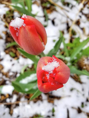 Photograph - Snow Covered Tulips by Brook Burling