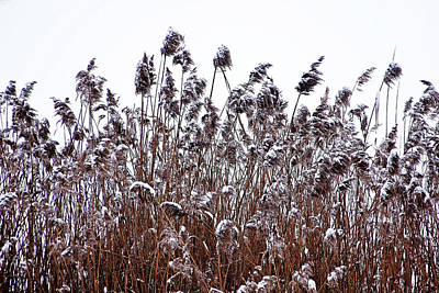 Photograph - Snow Covered Wild Grass by Debbie Oppermann