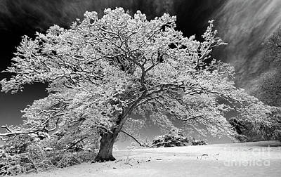 Bare Trees Photograph - Snow Covered Winter Oak Tree Monochrome by Tim Gainey