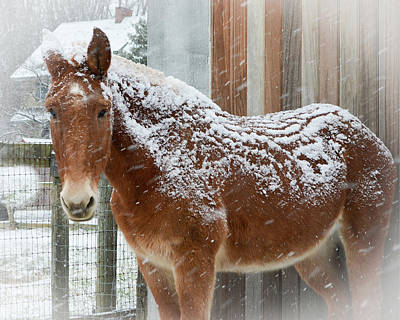 Photograph - Snow Day For A Mule by Tana Reiff
