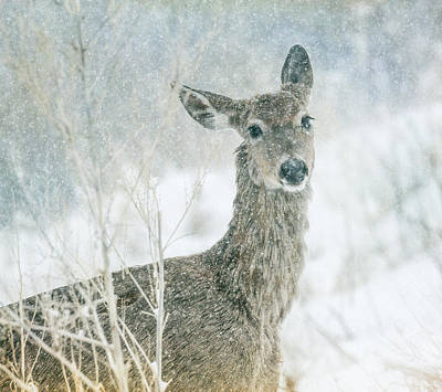 Photograph - Snow Deer by Kristal Kraft
