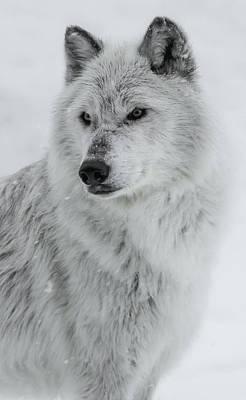 Photograph - Snow Dog by Athena Mckinzie