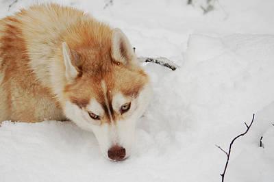 Photograph - Snow Dog II by Lynda Hoffman-Snodgrass