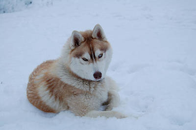 Photograph - Snow Dog IIi by Lynda Hoffman-Snodgrass