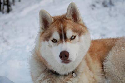 Photograph - Snow Dog by Lynda Hoffman-Snodgrass