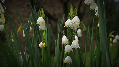 Photograph - Snow Drop Garden by Katie Wing Vigil