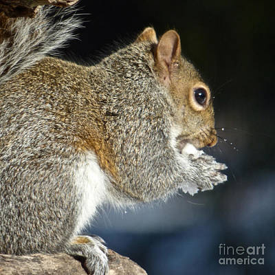Photograph - Snow-eating Squirrel by Jean Wright