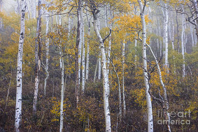 Photograph - Snow Falling Among Autumn Aspens by Spencer Baugh