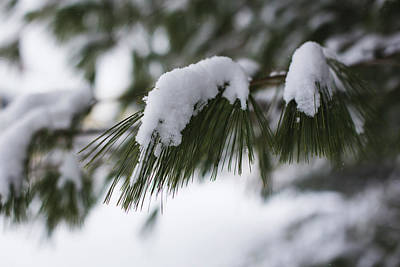 Pine Needles Photograph - Snow Falling On The White Pines by Andrew Pacheco