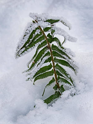 Photograph - Snow Fern - 365-288 by Inge Riis McDonald