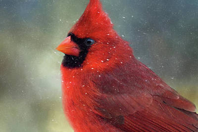Photograph - Snow Flaked Cardinal by Lana Trussell