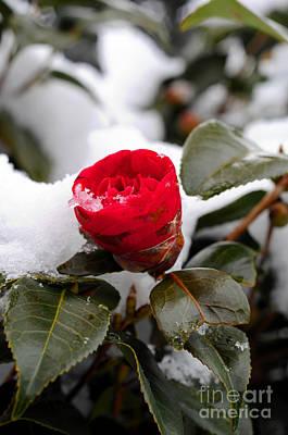 Snow Flower Art Print by Maureen Norcross
