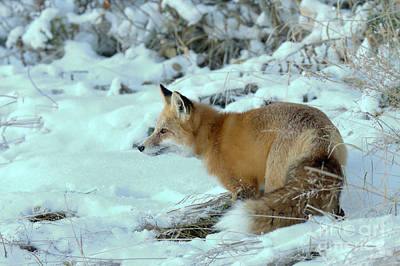 Photograph - Snow Fox Intensity by Adam Jewell