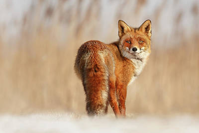 Hoar Frost Photograph - Snow Fox Series - The Look by Roeselien Raimond